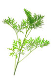 Wermut (Artemisia absinthium)