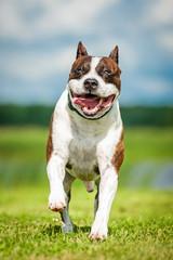 American staffordshire terrier running in summer