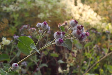 A burdock flowers and thorns diagonal
