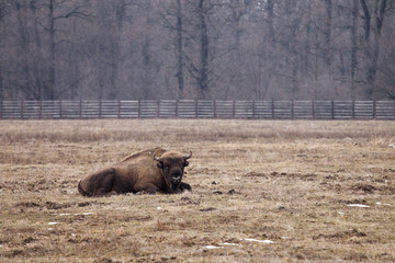 Bison bull looking straight to camera