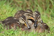 Famille canard
