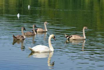 Schwanenfamilie auf dem Teich