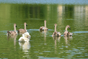 Schwanenfamilie schwimmt davon