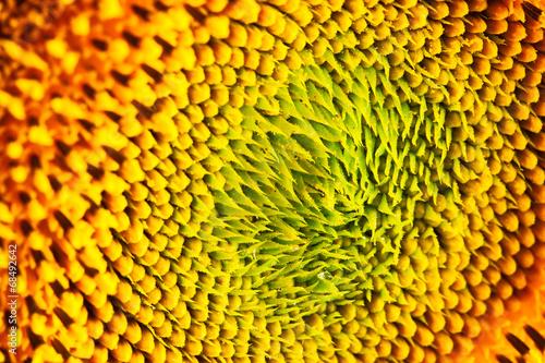 Papiers peints Texture sunflower