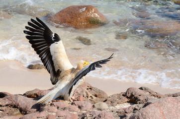 Стервятник (Neophron Percnopterus) на берегу Аравийского моря