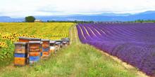 Prowansja, Francja - feelds z lavader i słoneczniki z ula