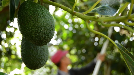 Hass avocados hanging at tree in harvesting fruit