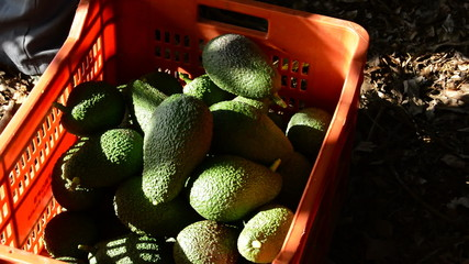 Harvesting avocados fruit manually in a box