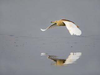 Pond Heron (Ardeola Grayii)