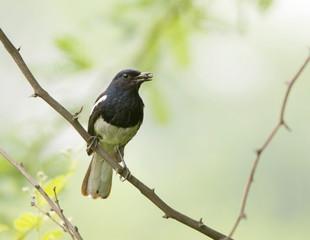 Oriental Magpie Robin (Copsychus Saularis)