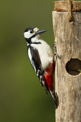 Great Spotted Woodpecker on wooden fatball feeder