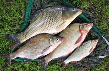 Catching fish. The Common Carp, Common Bream, Common Roach.