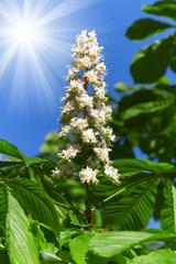 Chesnut flower