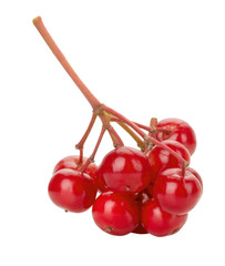 red berries of viburnum on a branch isolated on the white backgr