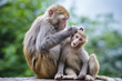 canvas print picture - Macaques in Guiyang, China