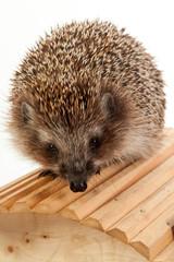 hedgehog on wooden bridge close-up