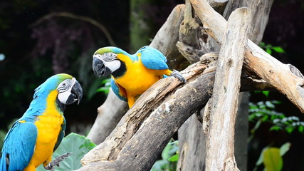 Blue and yellow macaw parrots in nature. HD