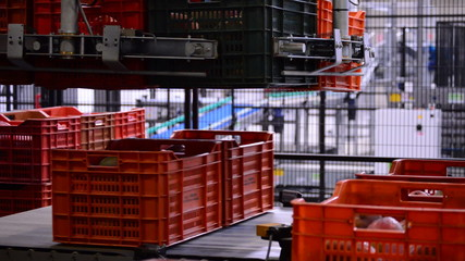 Boxes mango fruit in packaging line