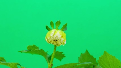 Dahlia flower blossoming against a green screen