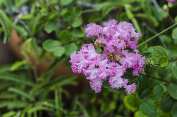 Pink wide flower