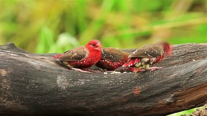 Group of Red Avadavat(Amandava amandava) on the wood