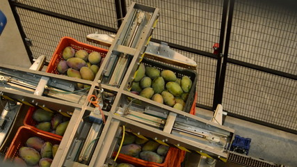 Mangoes boxes in industrial line