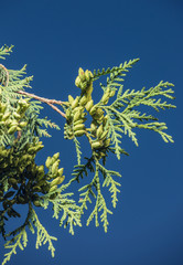 Branch of a thuja on a background of the sky