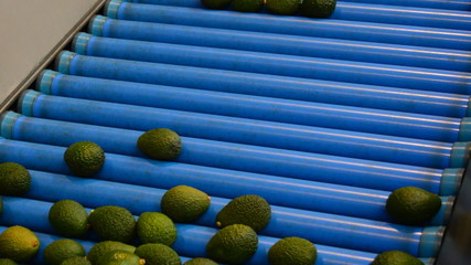 Packaging line avocados
