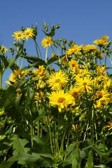 Durchwachsene Silphie, Silphium perfoliatum, Energiepflanze