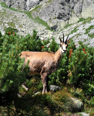 animals in the mountains - chamois