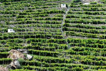 Vineyards, Pont Saint Martin (Italy)