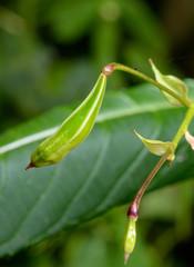 drüsiges Springkraut, reife Kapsel mit Samen