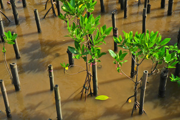 Young mangroves tree