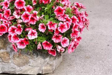 Stone Jardiniere with Pink Petunia