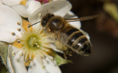 A macro photo of a Bee
