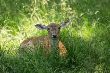 Reh im grünen Gras beim Wiederkauen