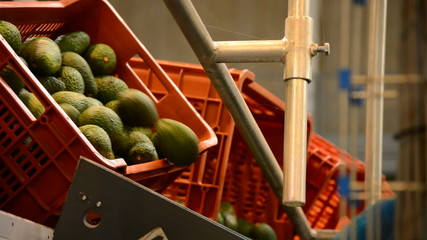 Avocado hass in packaging line