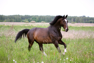 Brown horse galloping at the field