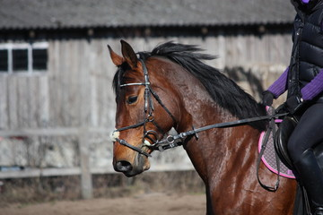 Portrait of brown sport horse with rider