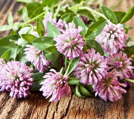 Trifolium pratense, Red Clover Flowers