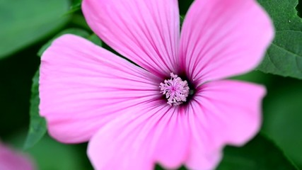 Purple flower in breeze. Selective focus.