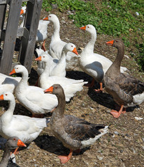white geese and ducks on the farm in the countryside 2