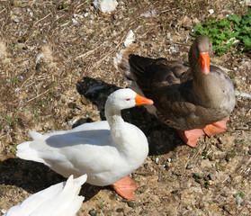 white geese and ducks on the farm in the countryside 3