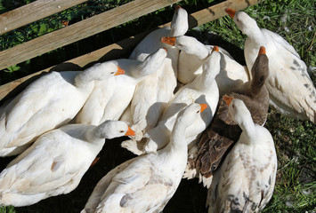 white geese and ducks with the beak orange on the farm in the co