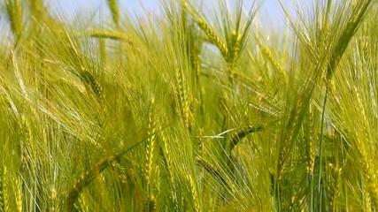 barley ears close up