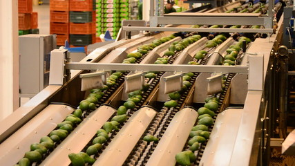 Avocados hass in packaging line