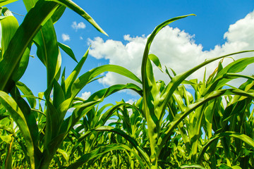 corn sprouts view from the bottom
