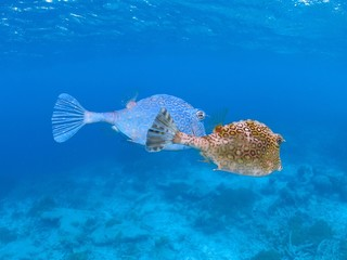 cute cow fish couple