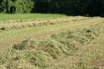 foraggio steso a seccare su campo
