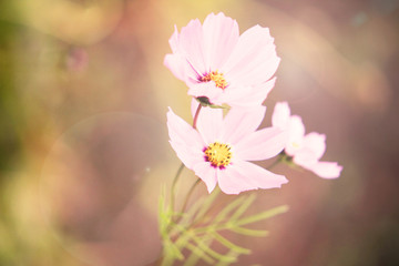 Cosmos flowers background in vintage style.